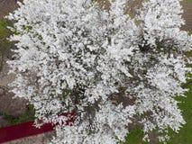 Ανθίζοντας δαμάσκηνο κερασιών Άσπρα λουλούδια των δέντρων δαμάσκηνων στους κλάδους ενός δέντρου στενό λευκό τουλιπών κόκκινων ανο Στοκ Εικόνες
