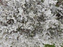 Ανθίζοντας δαμάσκηνο κερασιών Άσπρα λουλούδια των δέντρων δαμάσκηνων στους κλάδους ενός δέντρου στενό λευκό τουλιπών κόκκινων ανο Στοκ εικόνα με δικαίωμα ελεύθερης χρήσης
