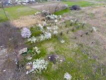 Ανθίζοντας δαμάσκηνο κερασιών Καλλιεργήσιμος κήπος, σειρές των νέων δέντρων Άσπρα λουλούδια των δέντρων δαμάσκηνων στους κλάδους  Στοκ Εικόνες