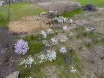 Ανθίζοντας δαμάσκηνο κερασιών Καλλιεργήσιμος κήπος, σειρές των νέων δέντρων Άσπρα λουλούδια των δέντρων δαμάσκηνων στους κλάδους  Στοκ Φωτογραφία