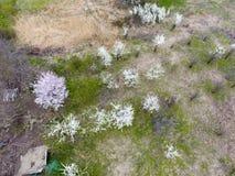 Ανθίζοντας δαμάσκηνο κερασιών Καλλιεργήσιμος κήπος, σειρές των νέων δέντρων Άσπρα λουλούδια των δέντρων δαμάσκηνων στους κλάδους  Στοκ φωτογραφίες με δικαίωμα ελεύθερης χρήσης