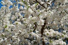 Ανθίζοντας δαμάσκηνο κερασιών (cerasifera Prunus) Στοκ εικόνες με δικαίωμα ελεύθερης χρήσης