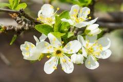 Ανθίζοντας δαμάσκηνο lat Εγκαταστάσεις Prunus της ροδαλής οικογένειας lat Rosaceae Στοκ Εικόνες