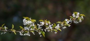 Ανθίζοντας δαμάσκηνο & x28 Prunus domestica& x29  κλάδος Στοκ Φωτογραφία