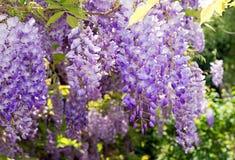 Ανθίζοντας αναρριχητικό φυτό wisteria Στοκ Φωτογραφία