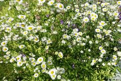 Ανθίζοντας ανθίζοντας άσπρο υπόβαθρο λουλουδιών με τα πράσινα φύλλα Στοκ Εικόνες