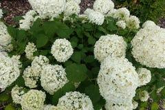 Ανθίζοντας ανθίζοντας άσπρο υπόβαθρο λουλουδιών με τα πράσινα φύλλα Στοκ φωτογραφία με δικαίωμα ελεύθερης χρήσης
