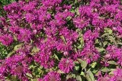 Ανθίζοντας ανθίζοντας ιώδες υπόβαθρο λουλουδιών με τα πράσινα φύλλα Στοκ Φωτογραφίες