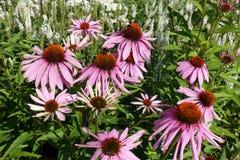 Ανθίζοντας ανθίζοντας ιώδες υπόβαθρο λουλουδιών με τα πράσινα φύλλα Στοκ Εικόνες