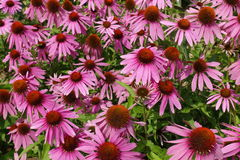 Ανθίζοντας ανθίζοντας ιώδες υπόβαθρο λουλουδιών με τα πράσινα φύλλα Στοκ Εικόνα