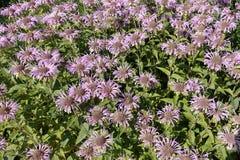 Ανθίζοντας ανθίζοντας ιώδες υπόβαθρο λουλουδιών με τα πράσινα φύλλα Στοκ Φωτογραφία
