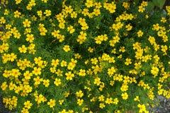 Ανθίζοντας ανθίζοντας υπόβαθρο λουλουδιών κίτρινο και πράσινο Στοκ εικόνα με δικαίωμα ελεύθερης χρήσης