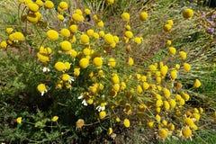 Ανθίζοντας ανθίζοντας υπόβαθρο λουλουδιών κίτρινο και πράσινο Στοκ Εικόνα