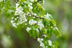 Ανθίζοντας αχλάδια που γεμίζουν με το χιόνι Άνοιξη Στοκ Φωτογραφίες