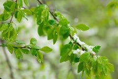 Ανθίζοντας αχλάδια που γεμίζουν με το χιόνι Άνοιξη Στοκ φωτογραφίες με δικαίωμα ελεύθερης χρήσης