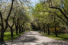 Ανθίζοντας αλέα δέντρων μηλιάς στο αστικό πάρκο στοκ φωτογραφία με δικαίωμα ελεύθερης χρήσης