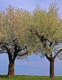 ανθίζοντας δέντρα άνοιξη λιβαδιών μήλων Στοκ φωτογραφία με δικαίωμα ελεύθερης χρήσης