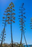 Ανθίζοντας δέντρα αγαύης ενάντια στον ουρανό Στοκ Εικόνες