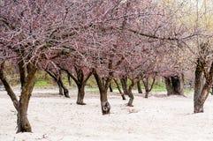 Ανθίζοντας δέντρα βερικοκιών στοκ εικόνα