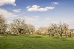 Ανθίζοντας δέντρα κερασιών και μηλιάς άνοιξη στον οπωρώνα, μπλε ουρανός με τα άσπρα σύννεφα στοκ εικόνες