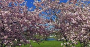 Ανθίζοντας δέντρα κερασιών, Μόναχο, Βαυαρία, Γερμανία, Ευρώπη φιλμ μικρού μήκους
