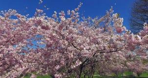 Ανθίζοντας δέντρα κερασιών, Μόναχο, Βαυαρία, Γερμανία, Ευρώπη απόθεμα βίντεο