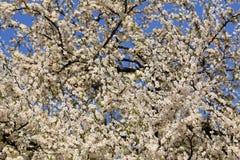 ανθίζοντας δέντρα κερασι Στοκ Εικόνες