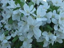 ανθίζοντας δέντρα μήλων Τα ανθίζοντας δέντρα της Apple καλλιεργούν την άνοιξη Στοκ εικόνες με δικαίωμα ελεύθερης χρήσης