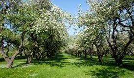 ανθίζοντας δέντρα μήλων Στοκ Εικόνες