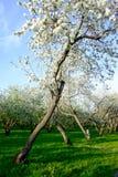 ανθίζοντας δέντρα μήλων Στοκ Φωτογραφία