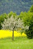 ανθίζοντας δέντρα μήλων Στοκ Φωτογραφίες