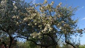 Ανθίζοντας δέντρα μηλιάς ενάντια στον ουρανό μια σαφή ημέρα στοκ εικόνες με δικαίωμα ελεύθερης χρήσης