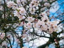 Ανθίζοντας δέντρα, ανθίζοντας οπωρωφόρα δέντρα, άνοιξη και άνθιση apric Στοκ φωτογραφία με δικαίωμα ελεύθερης χρήσης