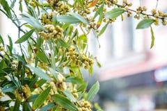 Ανθίζοντας δέντρα στη Ιστανμπούλ στοκ φωτογραφία
