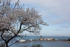 Ανθίζοντας δέντρα Sakura Στοκ Εικόνες