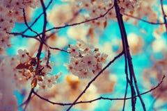 ανθίζοντας δέντρο άνοιξη της Ιαπωνίας κερασιών ανασκόπησης κοντά floral επάνω Εκλεκτής ποιότητας ανθίζοντας οπωρώνας Στοκ φωτογραφία με δικαίωμα ελεύθερης χρήσης