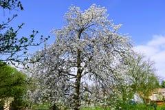 Ανθίζοντας δέντρο άνοιξη Στοκ Εικόνες