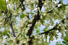 Ανθίζοντας δέντρο ακακιών την άνοιξη με τα άσπρα λουλούδια στοκ εικόνες με δικαίωμα ελεύθερης χρήσης