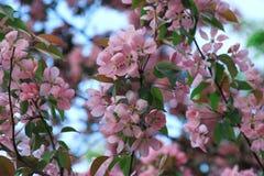 Ανθίζοντας δέντρο ανθών κερασιών Στοκ Εικόνα