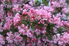 Ανθίζοντας δέντρο ανθών κερασιών Στοκ Φωτογραφίες