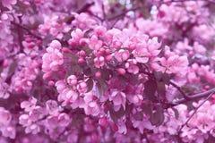 Ανθίζοντας δέντρο ανθών κερασιών Στοκ Εικόνες