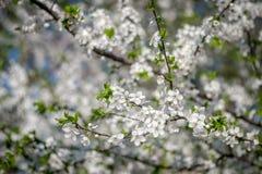 Ανθίζοντας δέντρο βερικοκιών την άνοιξη Στοκ Φωτογραφίες