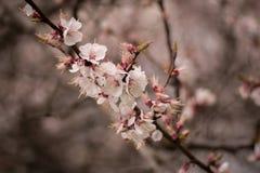 Ανθίζοντας δέντρο βερικοκιών την άνοιξη Στοκ φωτογραφία με δικαίωμα ελεύθερης χρήσης
