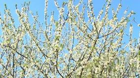 Ανθίζοντας δέντρο δαμάσκηνων, κλάδος δαμάσκηνο-δέντρων που καλύπτονται με τα άσπρα λουλούδια και φύλλωμα απόθεμα βίντεο