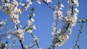 ανθίζοντας δέντρο δαμάσκηνων στοκ φωτογραφία με δικαίωμα ελεύθερης χρήσης