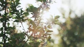 ανθίζοντας δέντρο κήπων μήλ&o απόθεμα βίντεο