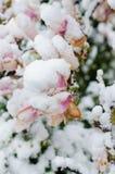 Ανθίζοντας δέντρο και χιόνι magnolia Στοκ εικόνα με δικαίωμα ελεύθερης χρήσης