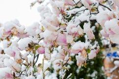 Ανθίζοντας δέντρο και χιόνι magnolia Στοκ Εικόνα