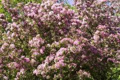 Ανθίζοντας δέντρο κερασιών με τα ρόδινα λουλούδια φύση, σύντομο χρονογράφημα Στοκ φωτογραφία με δικαίωμα ελεύθερης χρήσης