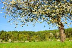 Ανθίζοντας δέντρο κερασιών στο λιβάδι στην ηλιόλουστη ημέρα στοκ φωτογραφία